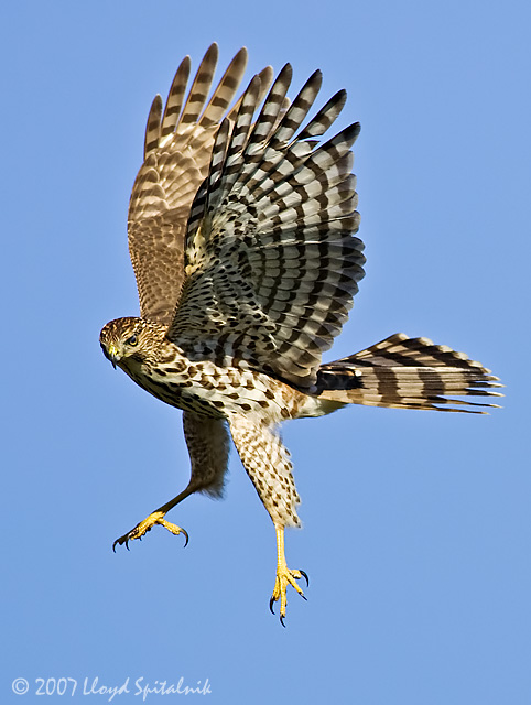 coopers_hawk_F5R6444