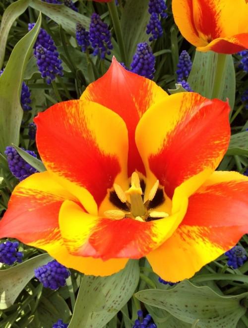 Spectacular Tulip