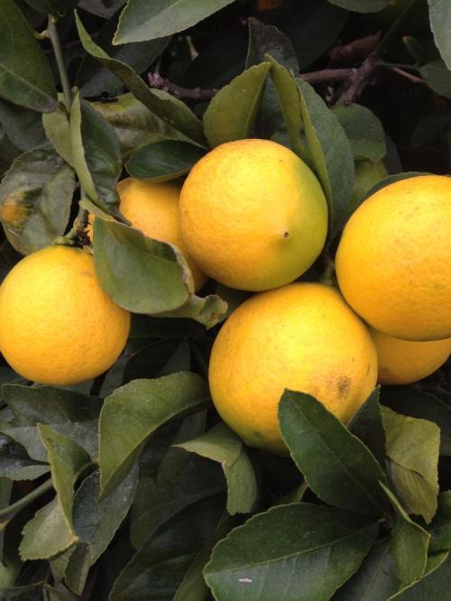 december lemons