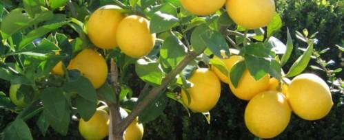 lemon-tree-674x276