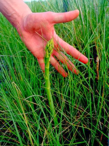wild asparagus shoot ericas hand